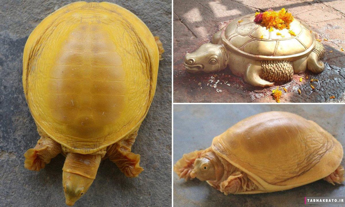 لاکپشتی که در نپال جنجال به پا کرد