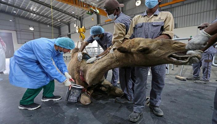 تاسیس بزرگترین بیمارستان شترها در عربستان + تصاویر