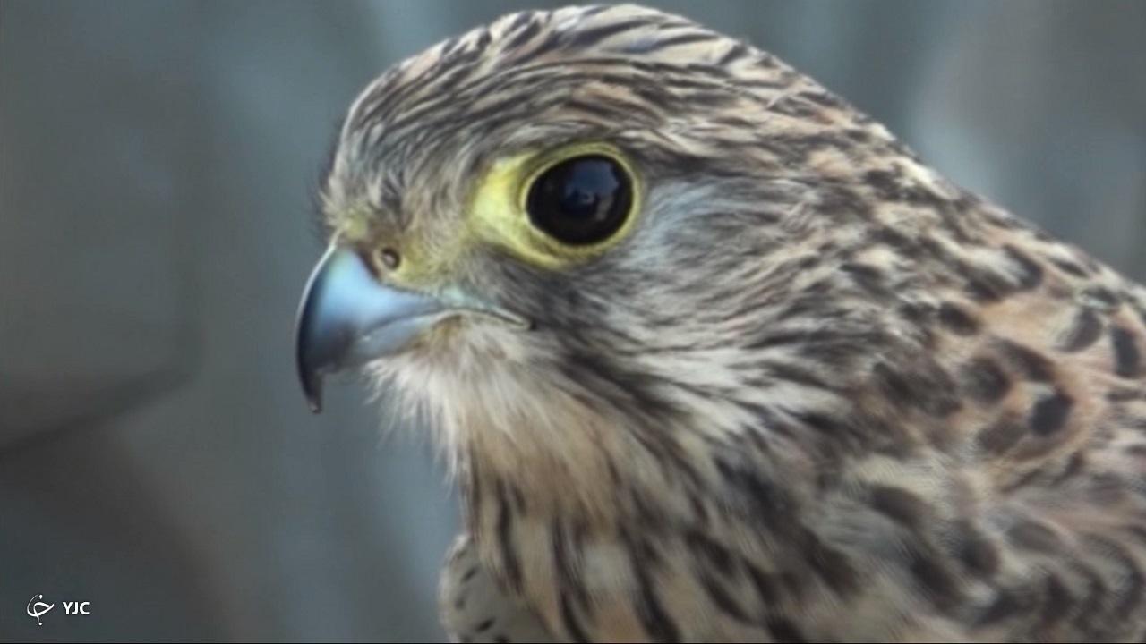 دشواریهای محیطبانان برای جمع کردن دامی که کوخهنشینان برای پرندگان شکاری پهن میکنند