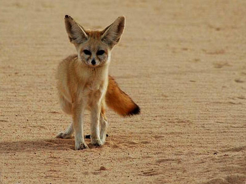 روباه و انواع آن را بیشتر بشناسید/ شاه روبا کوچکترین روباه ایران