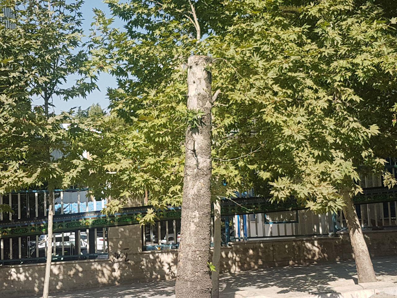 جای درختانی که به علت خشکیدگی قطع شده بودند، با سیمان پُر شد