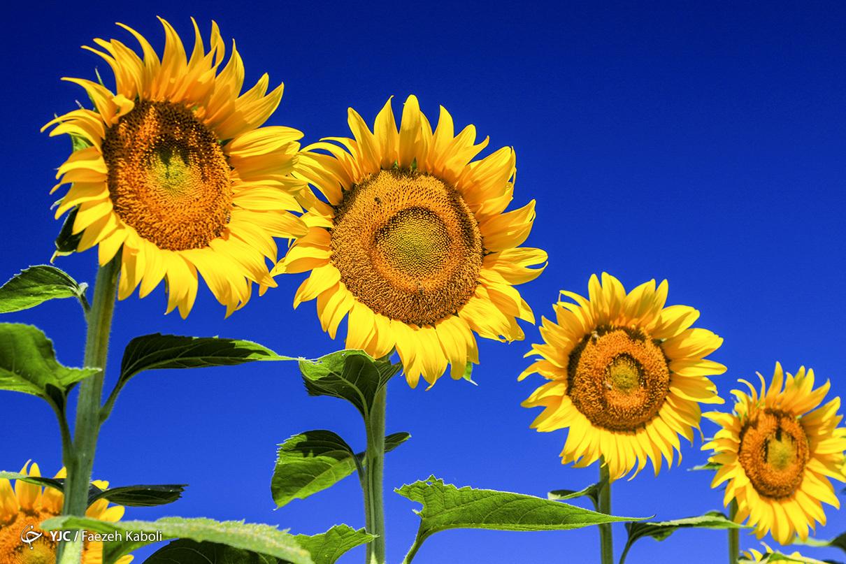 مزرعه آفتابگردان -گلستان