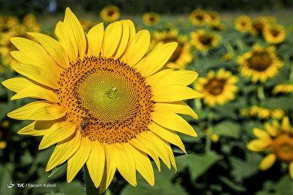 مزرعه آفتابگردان - گلستان
