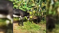 گوشمالی دادن به کفتار توسط الاغ! + فیلم