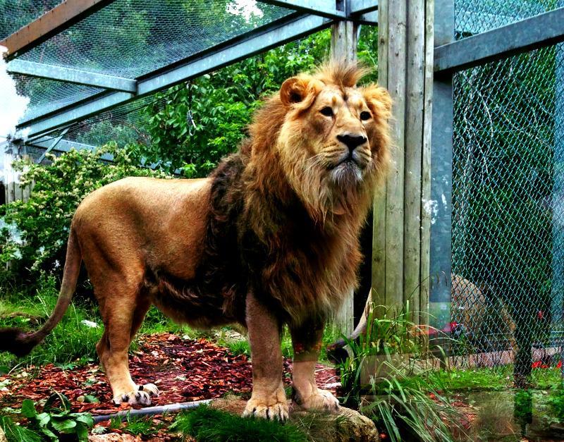 آخرین وضعیت «هیرمان» و «ایلدا» در باغ وحش ارم/ چرا دو شیر در حال انقراض زاد و ولد نمیکنند؟