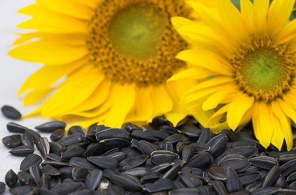 با فواید تخمه آفتاب گردان بشتر آشنا شوید