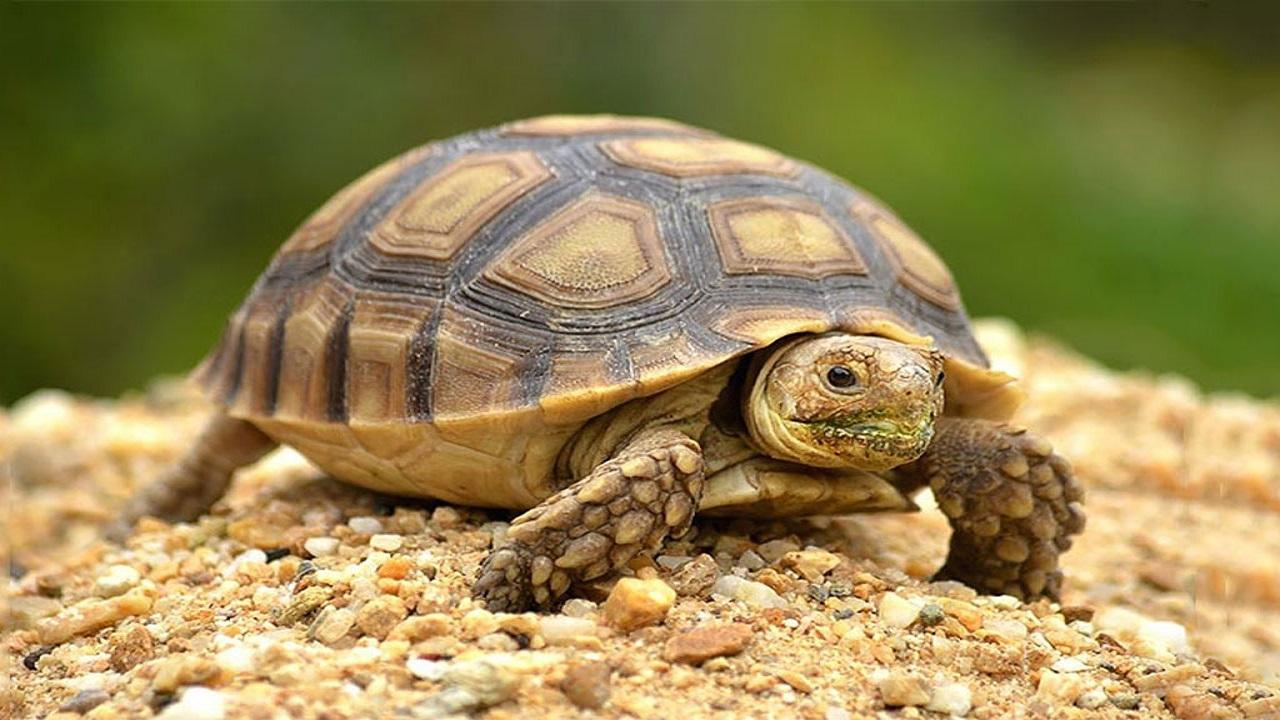 لاک پشت موجود خزنده اجتماعی که عمر زیادی دارد