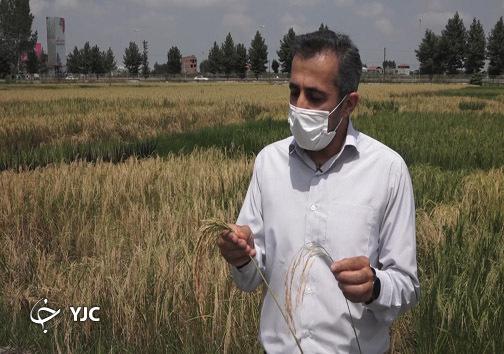 نویدپور مسئول کیفیت بذر برنج