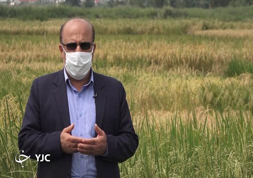 عرفانی مرکز تحقیقات برنج کشور