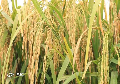 برنج تیسا
