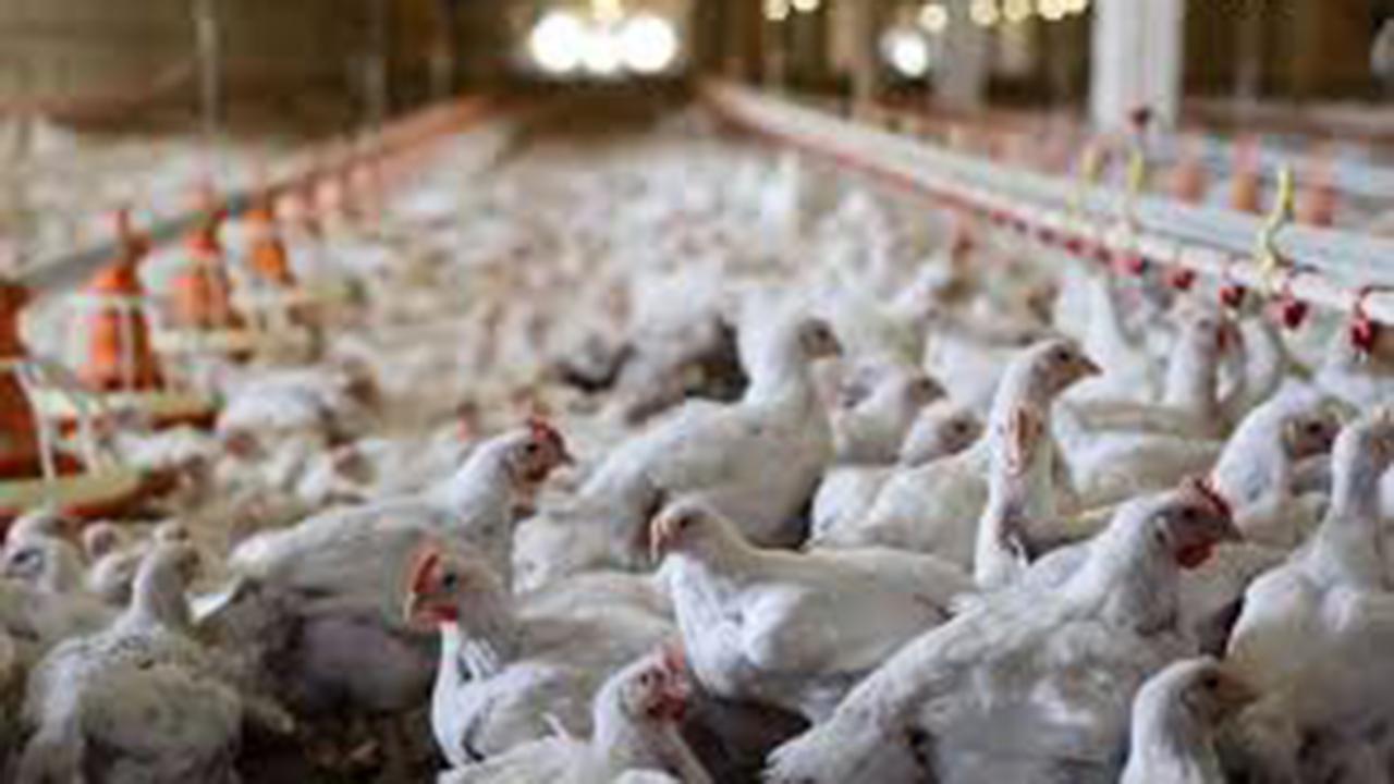 ممنوعیت خرید پرندگان زنده برای پیشگیری از آنفلوانزای پرندگان