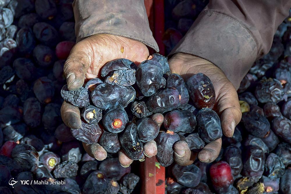 محصول خرما در دستان خرمادار