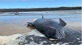 باشگاه خبرنگاران -۳۸۰ نهنگ در سواحل استرالیا جان باختند