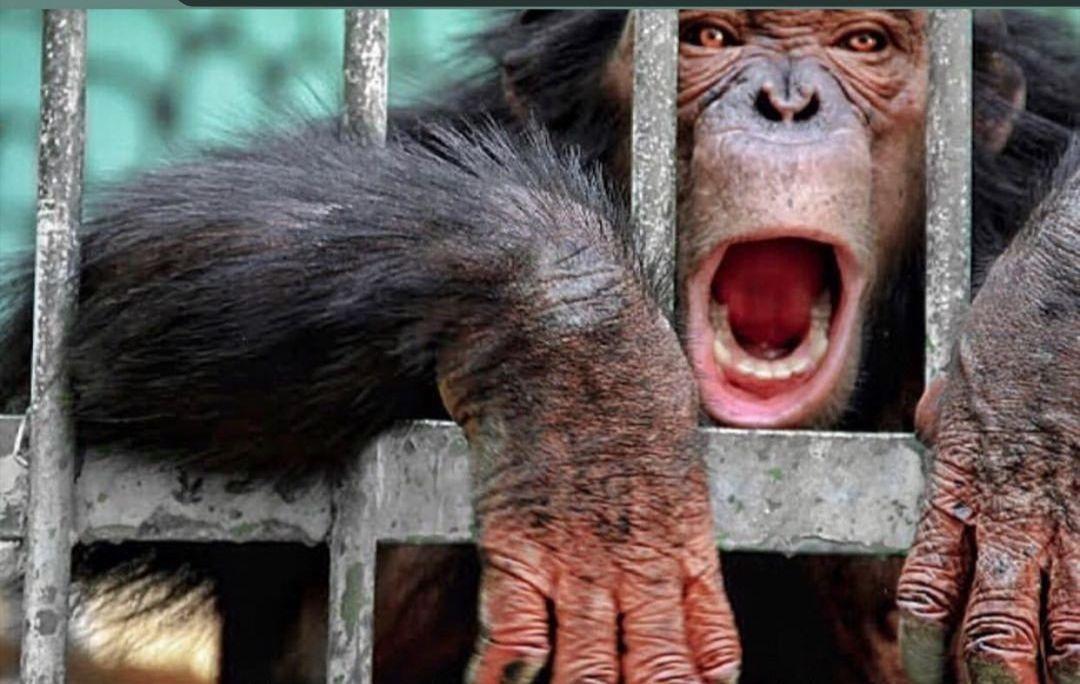 چرا شامپانزهها در ارم به مشکلات روانی دچار شده اند؟ // شامپانزههای ارم در اسارت سلولهای انفرادی