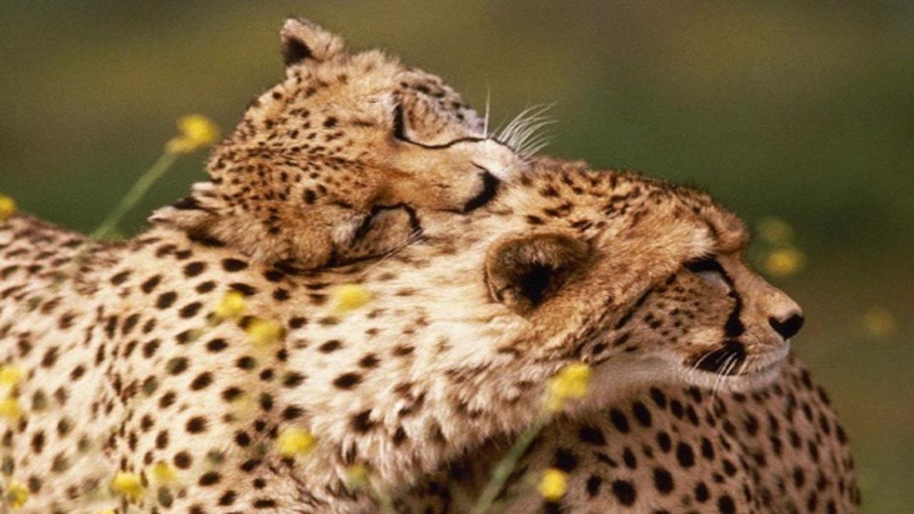 آخرین وضعیت یوزپلنگهای منتقل شده به توران