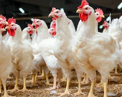 تعیین تکلیف مرغداریهای بدون پروانه در آذربایجان شرقی