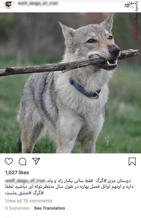 تجارت با توله گرگهای ۱۰ میلیون تومانی + تصاویر