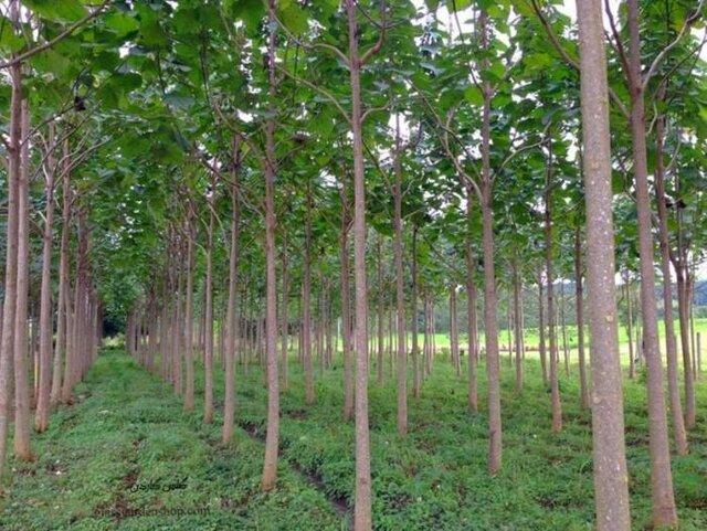 تامین چوب شهر جهانی مبل و منبت با تکیه بر کاشت درختان پالونیا