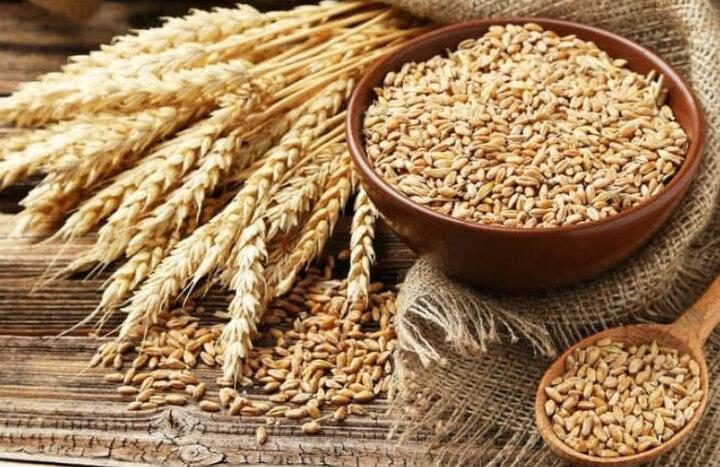 حل مشکل کمبود بذر گندم با ورود بذر از کردستان به همدان