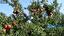 باشگاه خبرنگاران - کشت پادشاه میوه ها در خوزستان +فیلم