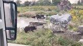 باشگاه خبرنگاران - حمله مرگبار گروهی خرس ها به کارگر باغ وحش!