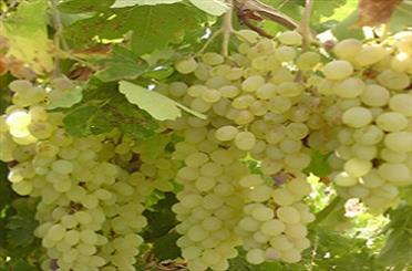 آغاز برداشت انگور از باغات ملکان
