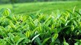 باشگاه خبرنگاران - امروز آخرین مهلت خرید تضمینی برگ سبز چای است