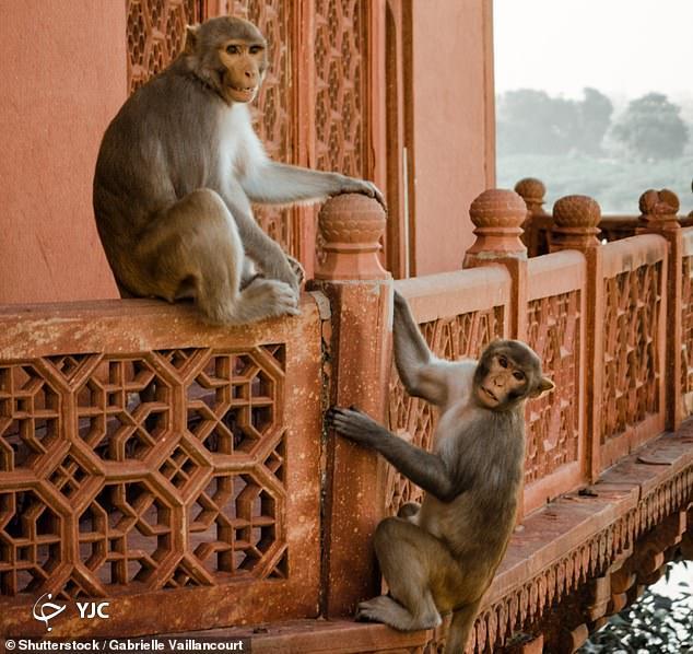 پرت شدن دختر نوجوان توسط میمون ها!