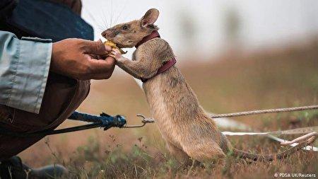 موش غول پیکری که مدال شجاعت گرفت!