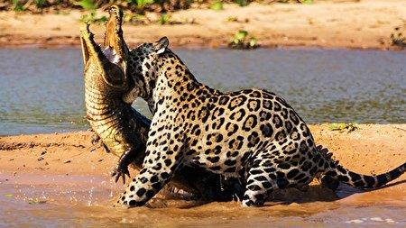شکار یک تمساح در لب رود آمازون توسط جگوار + فیلم
