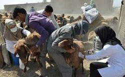 تزریق یک میلیون و ۵۰۰ بار واکسن به دامهای عشایر در استان همدان