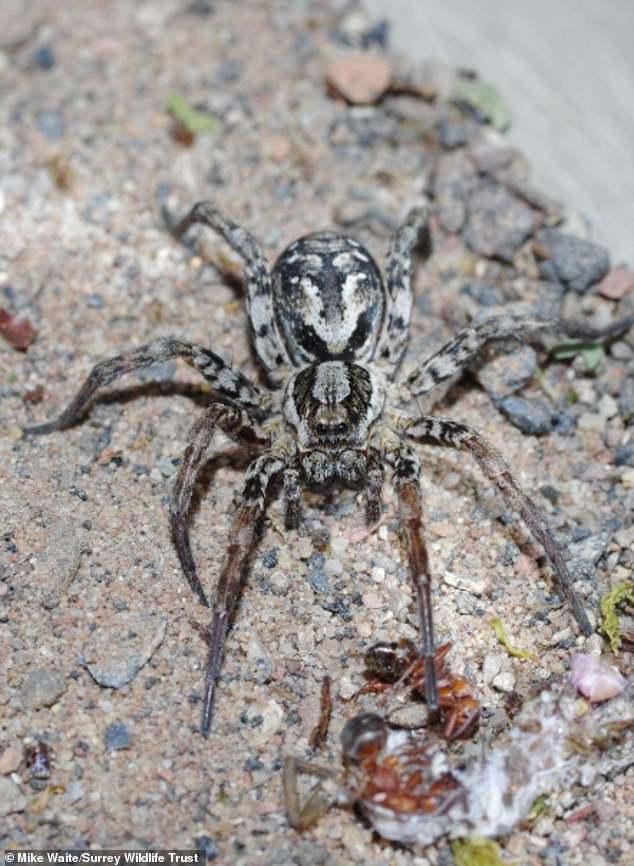 کشف عنکبوت غولپیکر و بسیار خطرناک پس از ۲۵ سال