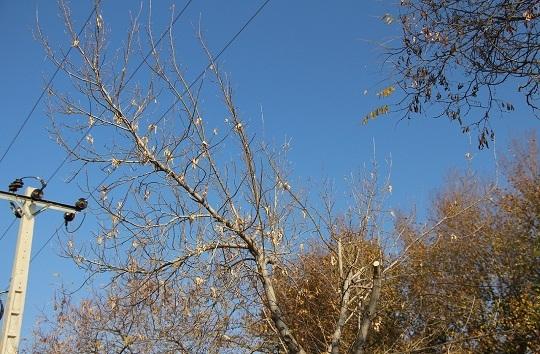 هرس غیراصولی بلای جان درخت/پیکار نابرابر سیمهای برق و شاخهها