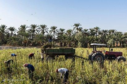 برداشت کنجد - مزارع شهرستان دشتستان