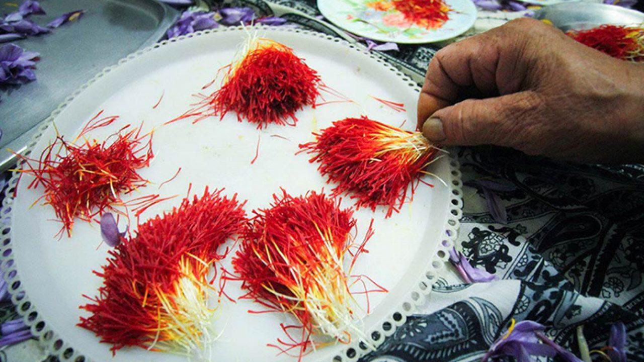 برداشت زعفران با رعایت نکات بهداشتی