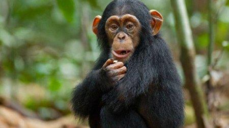 ویدئویی حیرت انگیز از هوش سرشار یک شامپانزه