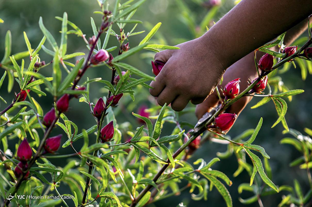 آیا صادرات محصولات کشاورزی جایگزینمناسبی برای درآمدهای نفتی است؟ چالش های پیش روی صادرات چیست؟