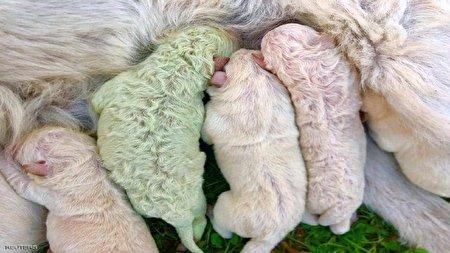 متولد شدن سگ سبز رنگ در ایتالیا