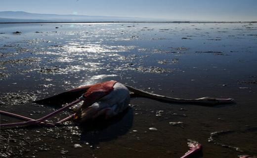 تلفات عجیب پرندگان در خلیج گرگان تکرار میشود؟