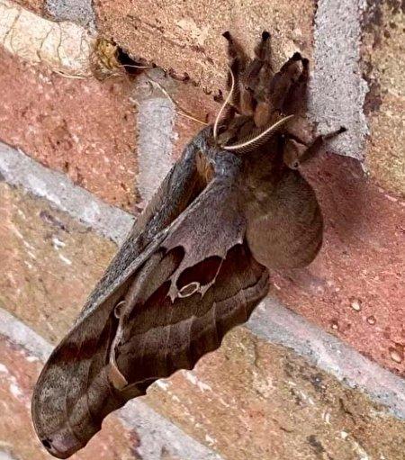 مشاهده حشره عجیبالخلقه در آمریکای شمالی+ عکس