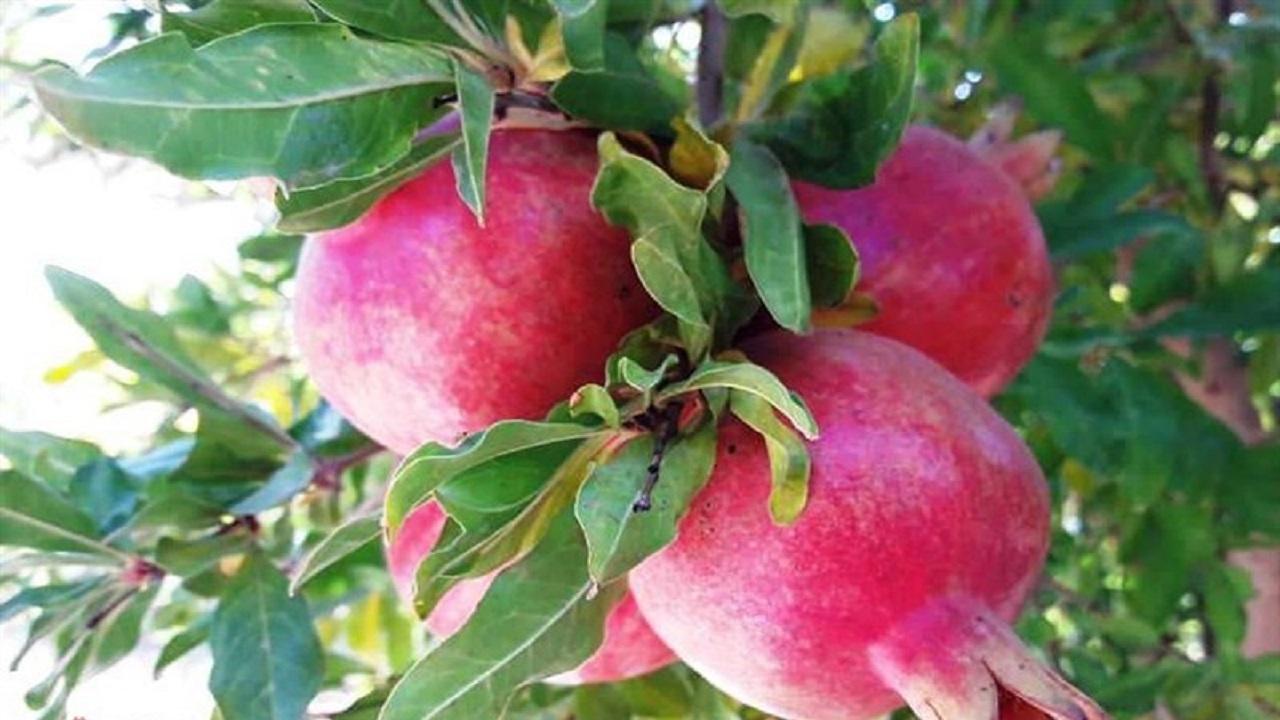 سایه سنگین دلالان بر بازار انار بادرود / باغداران از حضور دلالان گله دارند