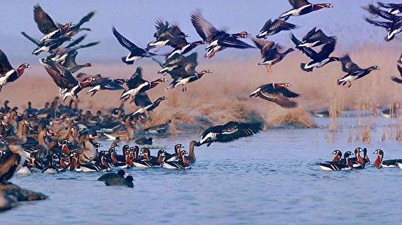 باشگاه خبرنگاران -پایش پرندگان مهاجر در خراسانشمالی برای پیشگیری از آنفلوآنزا/ شکارچیان پرندگان مهاجر را شکار نکنند