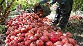باشگاه خبرنگاران - پیش بینی برداشت بیش از ۷ هزار تن انار از باغات سروآباد