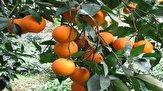 باشگاه خبرنگاران -باغداران در فروش پرتقال خود با قیمت نازل عجله نکنند