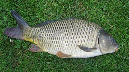 چرا در تایلند ماهی کپور را در شالیزارهای برنج پرورش میدهند؟
