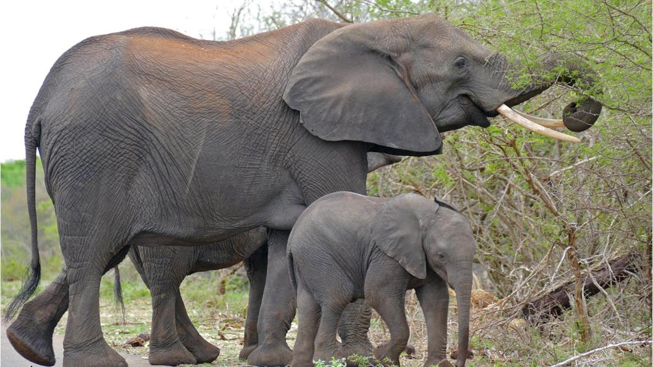 مهر مادری یک فیل، جان بچهاش را نجات داد