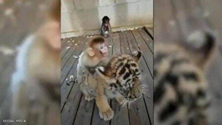 لحظاتی دیدنی از دوستی عجیب میمون و ببر