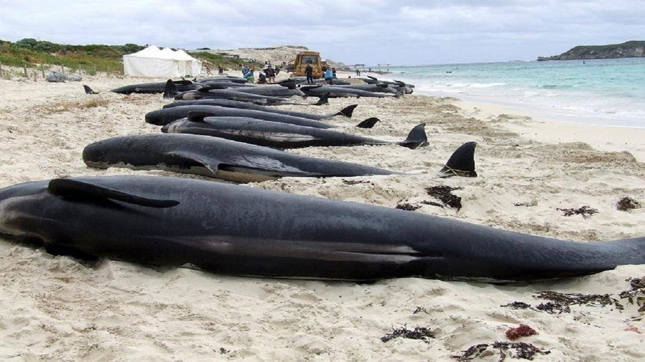 نهنگ ها هم خودکشی می کنند