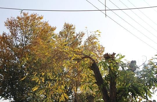 هرس غیراصولی بلای جان درختان/ پیکار نابرابر سیمهای برق و شاخهها