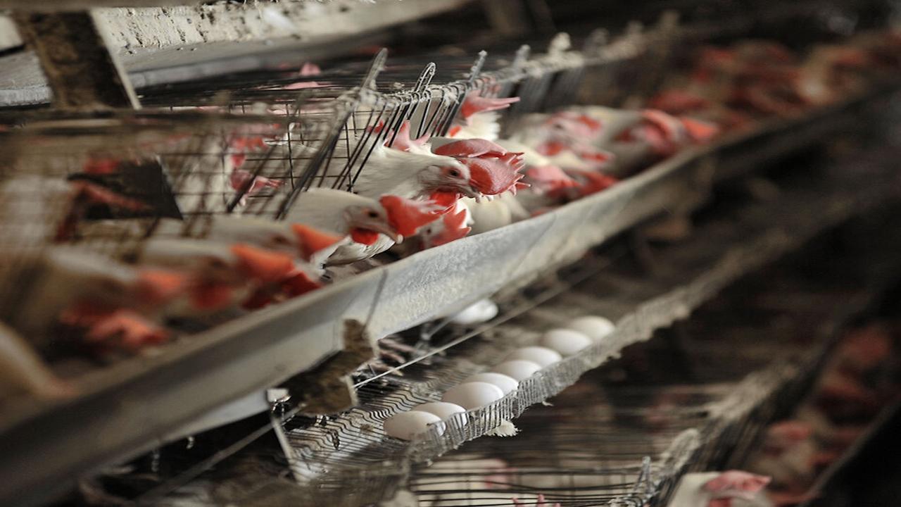 مرغ،گوشت،بازار،تامين،تنظيم،استان،قيمت،نرخي،تن،زنده،بجنورد،اص ...